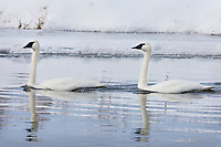 Pair of Trumpeter Swans along Henrys Fork of the Snake River, Harriman State Park, Idaho.  Winter.