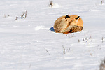 Adult red fox (Vulpes vulpes) sleeping on snow. Hayden Valley, Yellowstone, USA. January
