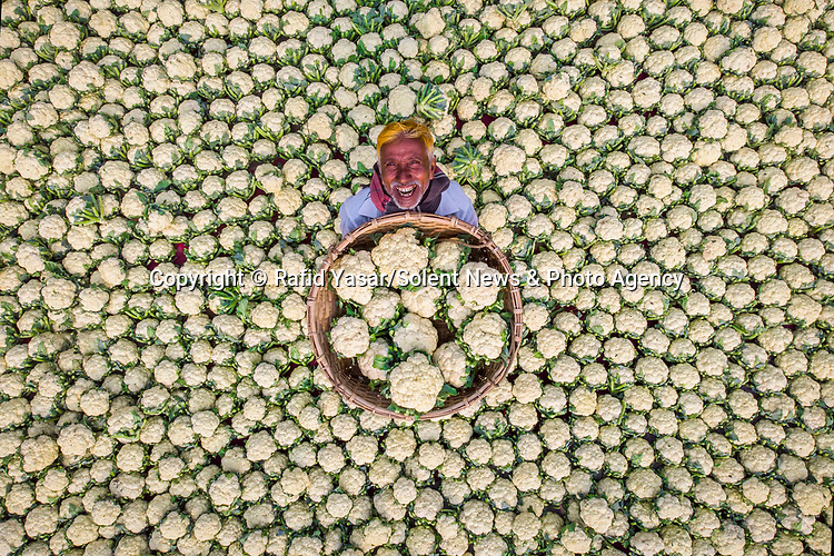 "A farmer brings his crop of over a thousand cauliflowers to the Mahasthangarh vegetable market, Bangladesh. <br /> <br /> Rafid Yasar, 25, said, ""This market place is where farmers all over the north Bengal region gathers their winter harvests for export into the capital markets by trucks. This man, Anarul Islam,  is a cauliflower farmer and grows different crops in other seasons but during winter these are his main crops.""<br /> <br /> ""Before selling these cauliflowers he makes sure to dry out any moisture by using the heat of the sun, because if they are not dried out properly the produce may go rotten during transport. ""<br /> <br /> Please byline: Rafid Yasar/Solent News<br /> <br /> © Rafid Yasar/Solent News & Photo Agency<br /> UK +44 (0) 2380 458800"