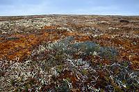 Nest and eggs of Ruddy Turnstone (Arenaria interpres) camouflaged in a tundra landscape. Yukon Delta National Wildlife Refuge. Alaska. June.