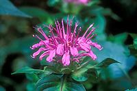 Monarda 'Marshall's Delight' beebalm in flower