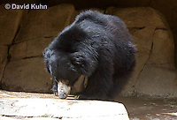 0326-1004  Sloth Bear (Labiated Bear), Melursus ursinus  © David Kuhn/Dwight Kuhn Photography.