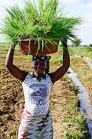 BURKINA FASO, Bobo Dioulasso, village, Bama, , paddy farming, production of Hybrid rice seeds for NAFASO, replanting of rice seedlings from nursery to field / GIZ Projekt ProCIV Grüne Innovationszentren, WSK Reis, Reis Hybrid Saatgut Anbau fuer  Firma Nafaso, Saatgutherstellung, Reis Setzlinge zum Umpflanzen, Frau Korotoum Sawoadogo