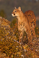 Mountain Lion standing on top of a hill in golden light - CA
