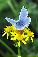 Silvery Blue butterfly (Glaucopsyche lygdamus) sips nectar from Western Groundsel (Senecio vernalis)of the Daisy family.  This plant blooms most of the summer Park wide. Lamar Valley, Yellowstone National Park, Wyoming.