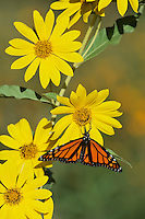 Monarch (Danaus plexippus), male feeding on Maximilians Sunflower (Helianthus maximilianii), Hill Country, Texas, USA