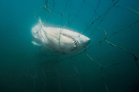 sand tiger shark, Carcharias taurus, caught in submerged shark net, placed around beaches to reduce shark attacks on swimmers, maintained by KwaZulu-Natal Sharks Board, Durban, KwaZulu-Natal, South Africa, Indian Ocean