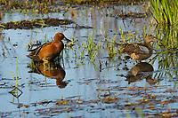 Cinnamon Teal pair, spring, Klamath Marsh NWR, OR.