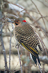 Northern Flicker sits in a weeping cherry tree, waiting his turn at the birdfeeder