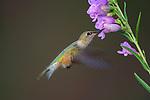 Female Broad-tailed Hummingbird at Flower