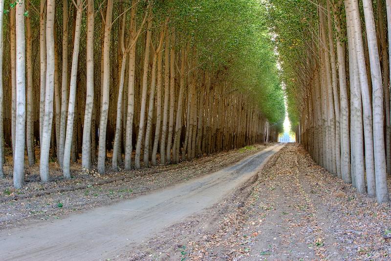 Road through Pacific Albus trees. Morrow County, Oregon