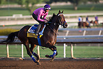 OCT 27 2014:Imperative, trained by George Papaprodromou, exercises in preparation for the Breeders' Cup Classic at Santa Anita Race Course in Arcadia, California on October 27, 2014. Kazushi Ishida/ESW/CSM