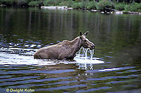 MS05-010z  Moose - cow (female) feeding at Sandy Stream Pond in Baxter State Park, Maine - Alces alces