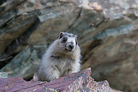 Young Hoary Marmot (Marmota caligata), Glacier National Park, Montana.  Summer.