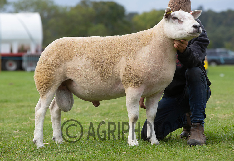 Kelso Ram Sale 2018<br /> Lot 2140  texel  6000gns J Watson, Brijon<br /> ©Tim Scrivener Photographer 07850 303986<br />      ....Covering Agriculture In The UK....