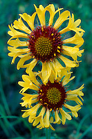 Blanket-flower<br /> Rock Creek Canyon<br /> Lolo National Forest<br /> Rocky Mountains,  Montana