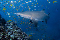 Grey Nurse Shark, Carcharias taurus, or Sand Tiger Shark or Ragged-Tooth Shark, critically endangered in Australia, Fish Rock, South West Rocks, New South Wales, Australia, South Pacific Ocean