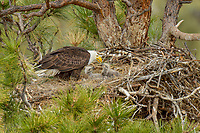 Bald Eagle Nest (Haliaeetus leucocephalus)--adult feeding two several week old eaglets in tall ponderosa pine tree.  Oregon.  May.