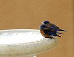 Western Bluebird Couple Drinking Snow