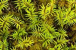 Moss detail, Anton Lasen Bay, Kodiak Island, Alaska,