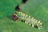 LE41-021b  Polyphemus Moth - young caterpillar - Antheraea polyphemus