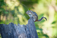 The North Woods are full of fascinating nature sounds.  Cackling Ravens, screeching Blue Jays, American Red Squirrels alarm calling.  The Chipmunk (Tamias minimus) is tiny but holds its own when it comes to contributing to the cacophony of the woods.