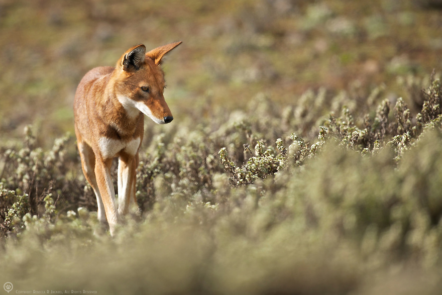 An Ethiopian wolf walking quietly through the brush on the hunt for rodents to eat.