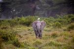 Kenya, Chyulu Hills National Park, African elephant (Loxodonta africana) and cattle egret (Bubulcus ibis)