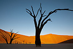 Dead camelthorn acacia trees in silhouette against a backdrop of sand dune and sunset in Dead Vlei, Sossusvlei, Namib-Naukluft National Park, Namibia.