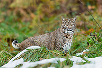 Wild Bobcat (Lynx rufus) hunting along edge of meadow with traces of several day old snow.  Olympic National Park, WA.  November.  (Completely wild, non-captive cat.)