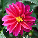 Dahlia 'Bishop of Canterbury', late August.