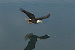A bald eagle soars over water in Homer, Alaska.