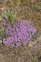 Gewöhnlicher Sand-Thymian, Sandthymian, Thymian, auf einem Trockenrasen, Thymus serpyllum, Wild Thyme, Sand Thyme, Thym serpolet