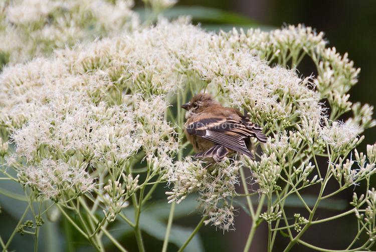 Goldfinch juvenile bird eating Eupatorium purpureum 'Joe White' seeds in garden