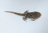 Tadpole of black-spined toad, Duttaphrynus melanostictus, with four legs.  Dili District, Timor-Leste (East Timor).