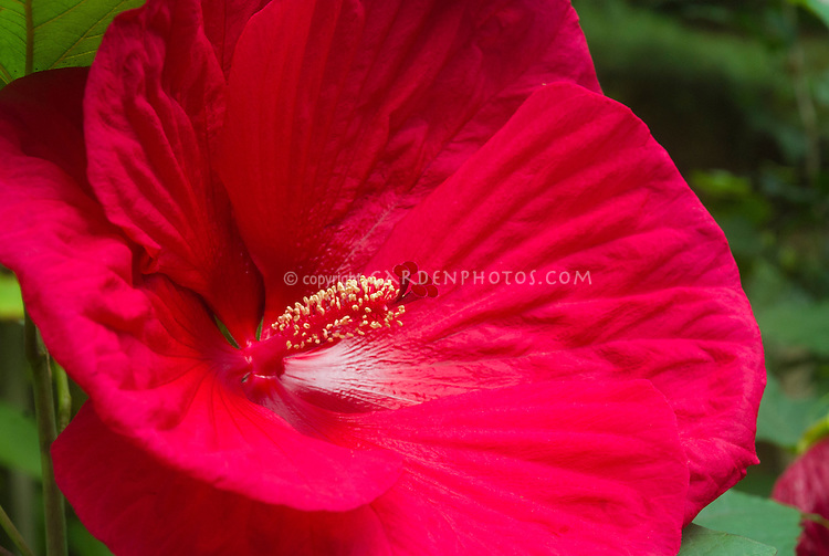 Hibiscus Cherry Brandy, closeup of red flower with pistil and stamens
