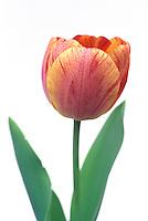 Flowering bulb silhouette -Tulip 'Gudoshnik'