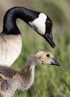 Most of the goslings at Market Lake were already on the older side.