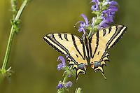 Südlicher Schwalbenschwanz, Alexanor-Schwalbenschwanz, Papilio alexanor, Papilio alexanor eitschbergeri, Southern Swallowtail, Alexanor Swallowtail, L'Alexanor, Grand Sélésier