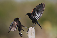 Bronzed Cowbird (Molothrus aeneus) and Red-winged Blackbird ( Agelaius phoeniceus) fighting, Sinton, Corpus Christi, Coastal Bend, Texas, USA