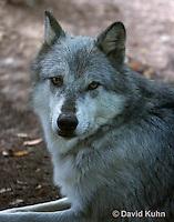 0823-1010  Gray Wolf (Grey Wolf), Canis lupus  © David Kuhn/Dwight Kuhn Photography
