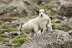 Rocky Mountain Goat Babies