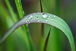 WA, Bellevue, Water Drops on Japanese Blood Grass