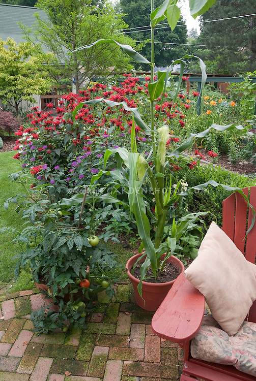 Container garden in backyard of corn, tomatoes, Adirondack chair, lawn, vegetable garden, beebalm Monarda, on brick patio