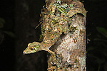 Mossy Leaf-tailed Gecko (Uroplatus sikorae), active at night. Ranomafana NP., south east Madagascar.