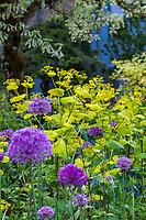 Smyrnium perfoliatum - Yellow Alexanders with 'Purple Sensation' Allium; O'Byrne Garden
