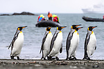 A group of king penguins (Aptenodytes patagonicus) walking along the beach with tourists inflatable boats in the background. St Andrews Bay, South Georgia, South Atlantic.