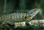Australia, Queensland, Crater Lakes NP, Eastern Water Dragon (Physignathus lesuerii)