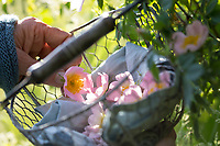 Rosenblüten-Ernte, Rosenblüten sammeln, Kräuterernte, Kräuter sammeln, Hunds-Rose, Hundsrose, Heckenrose, Wildrose, Rose, Rosen, Rosenblüten, Blüte, Blüten, Rosenblüte, Wildrosen, Heckenrosen, Rosa canina, Common Briar, Briar, Dog Rose, Eglantier commun, Rosier des chiens