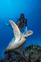 green sea turtle, Chelonia mydas, ascends from the reef as a scuba diver looks on, Little Cayman, Cayman Islands, Caribbean, Atlantic